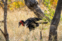 male ground hornbill hunting