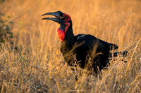 ground hornbill crushes a stick insect