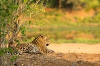 the leopard views his domain