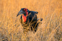 ground hornbill nabs a stick insect